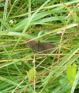 Read more about the article Brauner Waldvogel – Aphantopus hyperantus