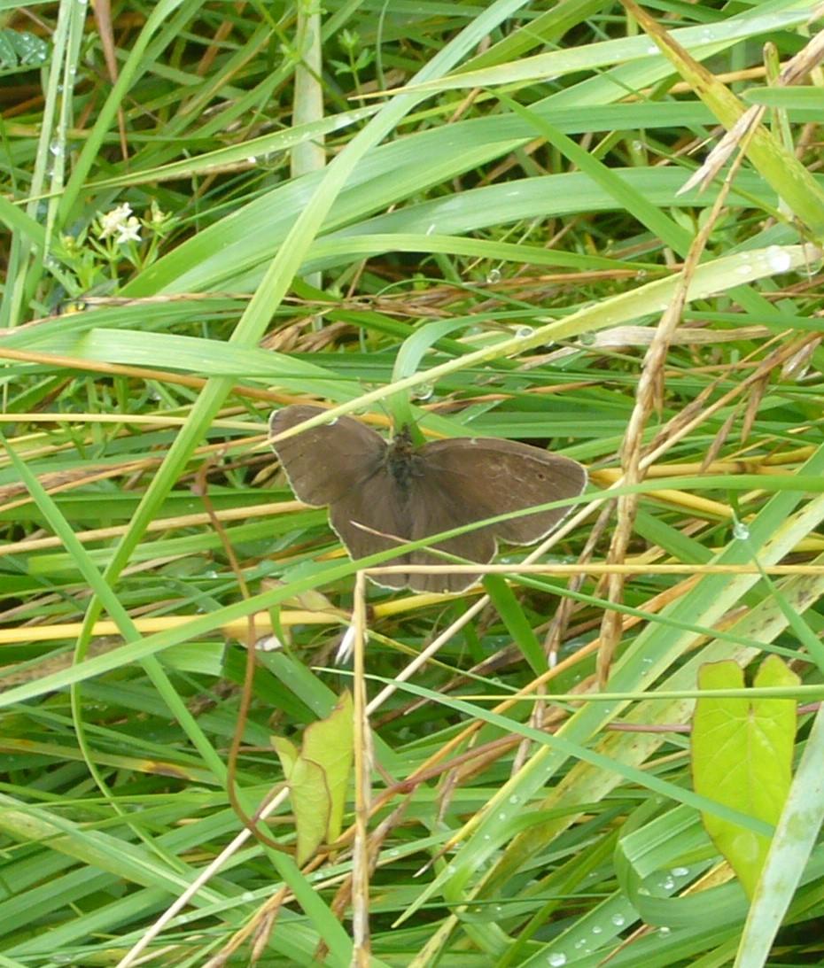 You are currently viewing Brauner Waldvogel – Aphantopus hyperantus