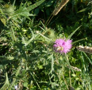 Read more about the article Gewöhnliche Kratzdistel – Cirsium vulgare; Syn.: Cirsium lanceolatum