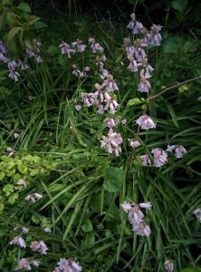 Read more about the article Hasenglöckchen – Hyacinthoides