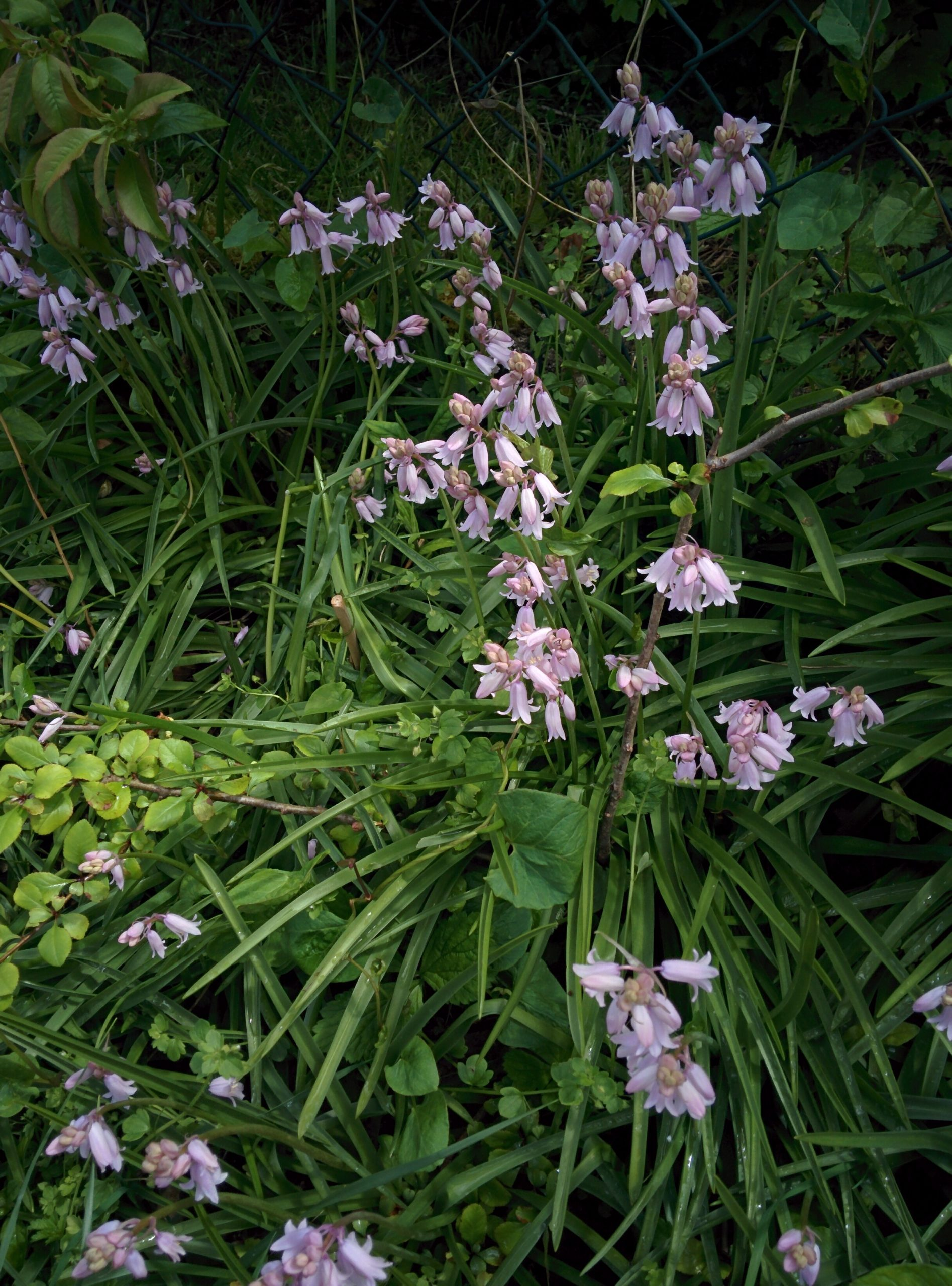 You are currently viewing Hasenglöckchen – Hyacinthoides
