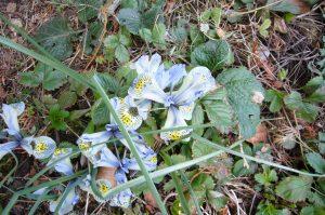 Read more about the article Netzblatt-Schwertlilie – Iris reticulata
