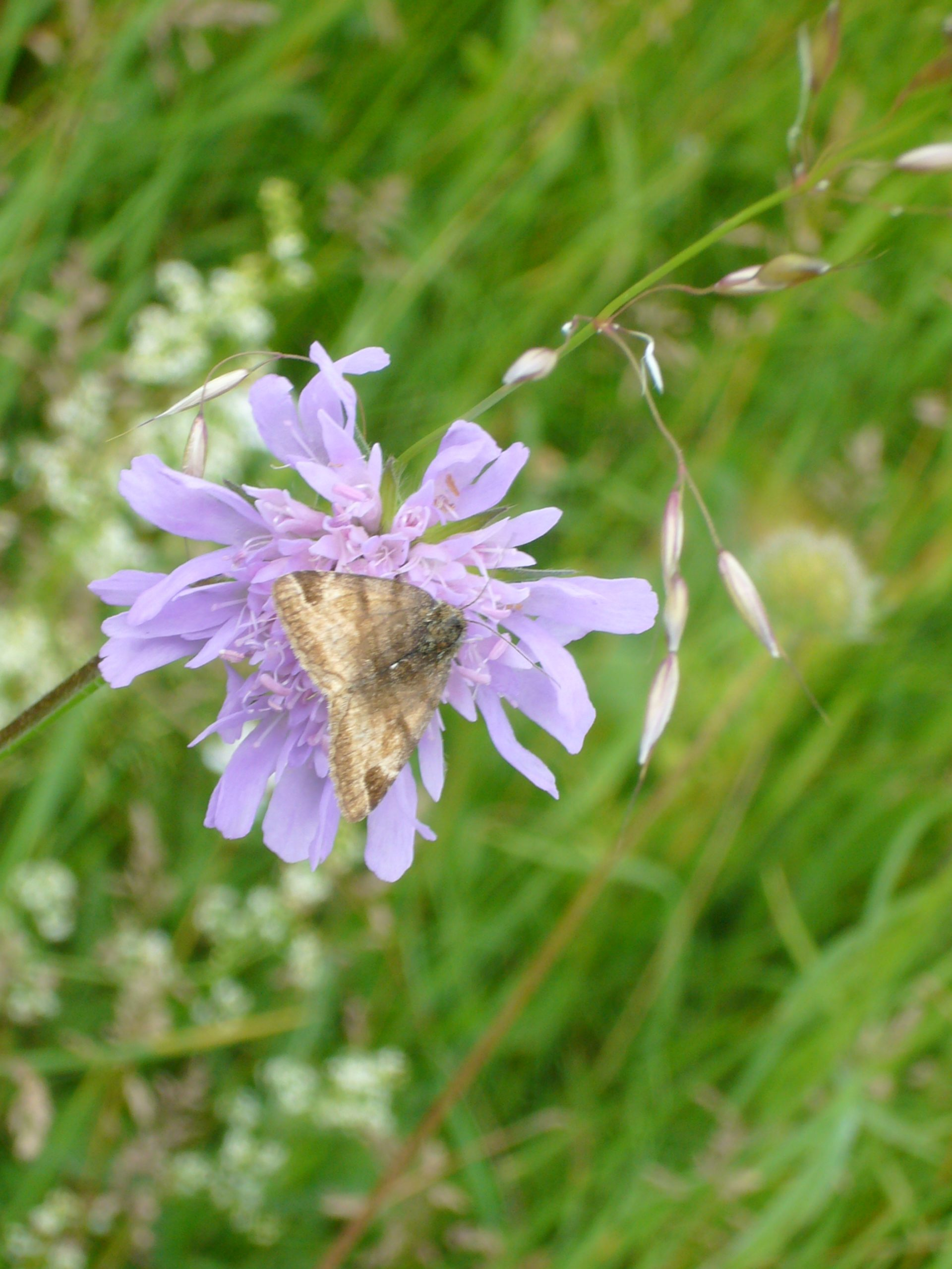 You are currently viewing Braune Tageule – Euclidia glyphica