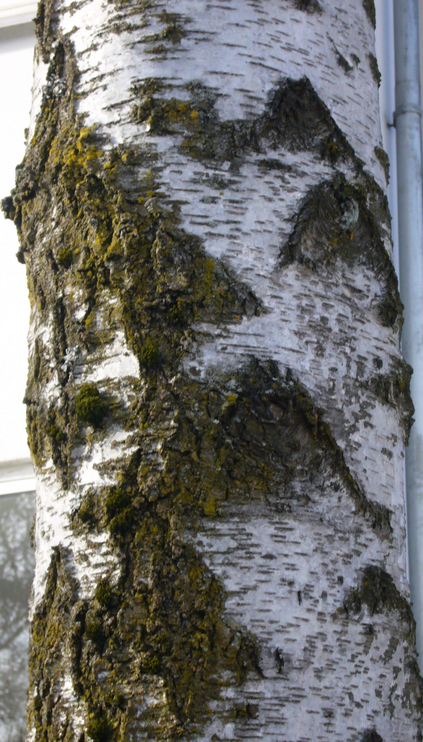 Birken – Betula