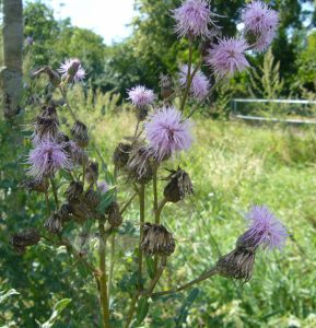 Read more about the article Acker-Kratzdistel – Cirsium arvense