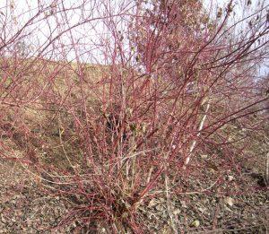 Roter Hartriegel – Cornus sanguinea