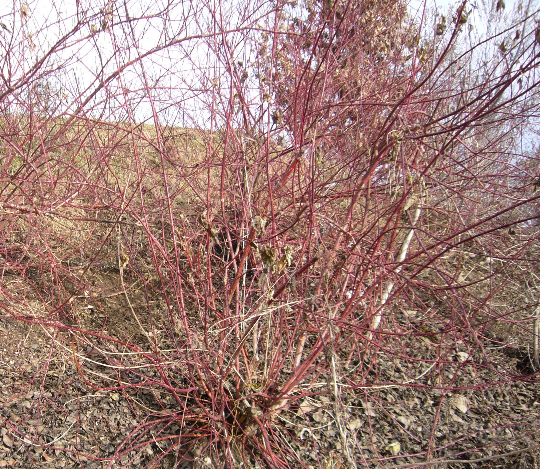 You are currently viewing Roter Hartriegel – Cornus sanguinea