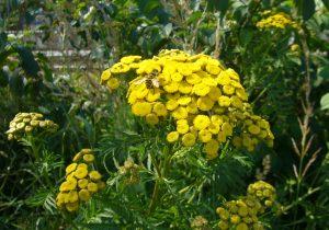 Read more about the article Totenkopfschwebfliege – Myathropa florea