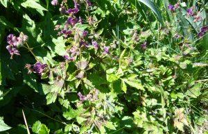 Read more about the article Brauner Storchschnabel – Geranium phaeum