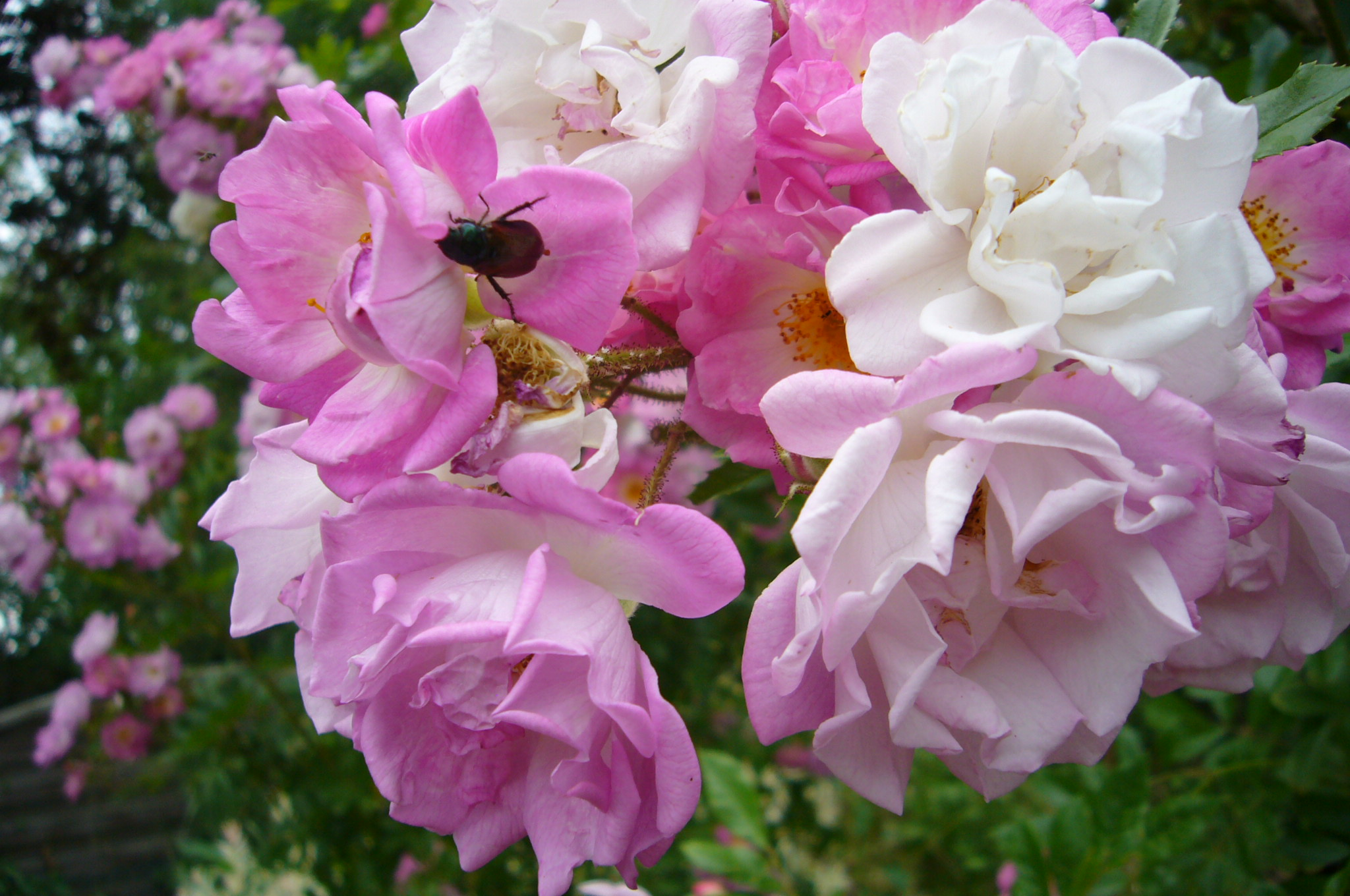 You are currently viewing Gartenlaubkäfer – Phyllopertha horticola
