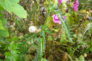 Read more about the article Gemeine Heideschnecke – Helicella itala syn. Helicella ericetorum