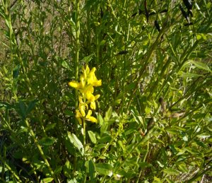 Read more about the article Besenginster – Cytisus scoparius