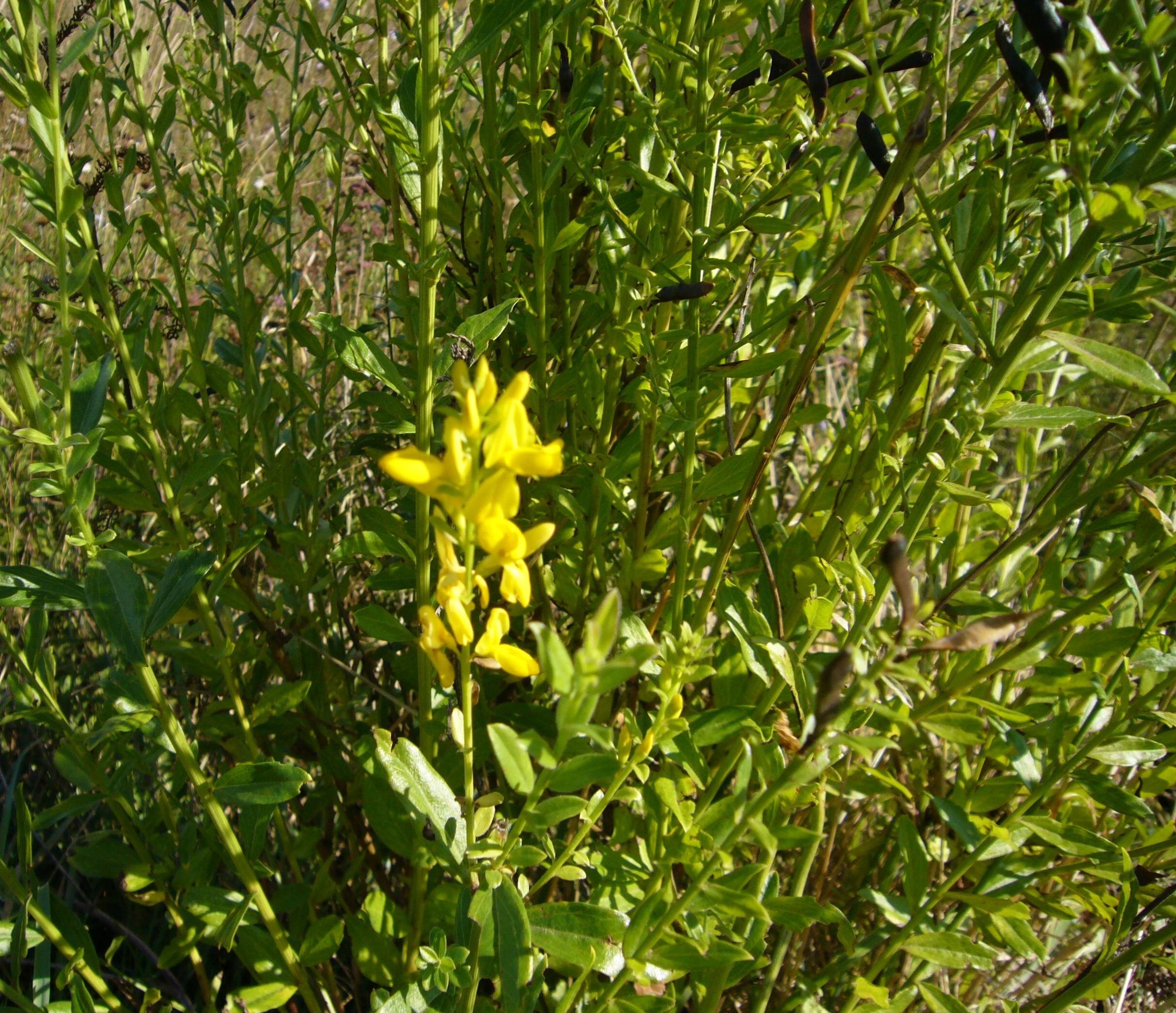 You are currently viewing Besenginster – Cytisus scoparius