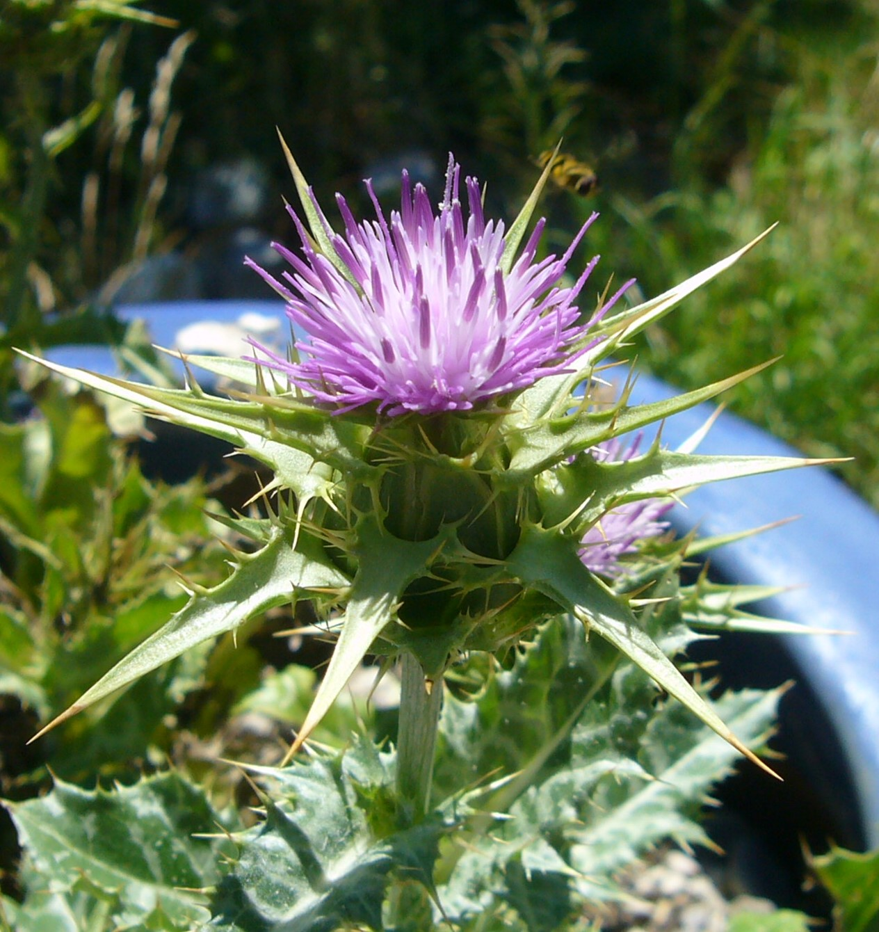 You are currently viewing Mariendistel – Silybum marianum