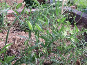 Pflanzendatenbank: Das Thema des Monats März 2021 – Gemüse