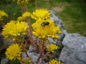 Read more about the article Fliege – Neomyia cornicina