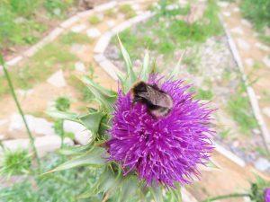 Pflanzendatenbank: Das Thema des Monats Juni 2021 – Disteln