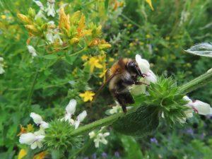Read more about the article Pflanzendatenbank: Das Thema des Monats Juli 2021 – Alte Bekannte