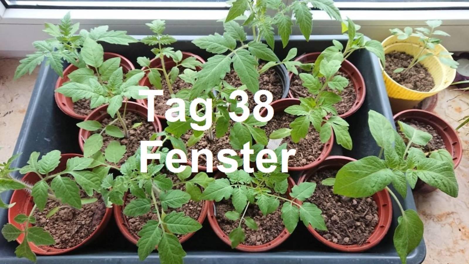 190429_tomaten_fenster.JPG
