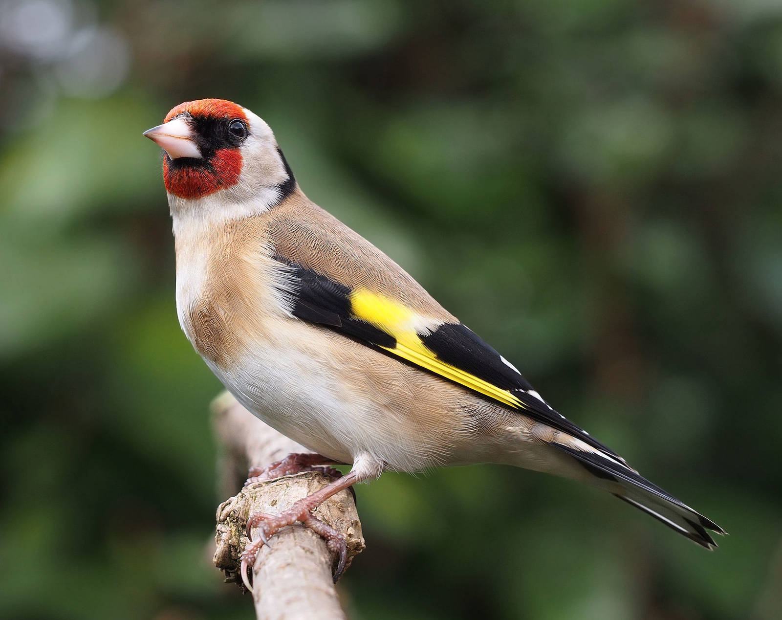 Carduelis_carduelis_close_up-1.jpg