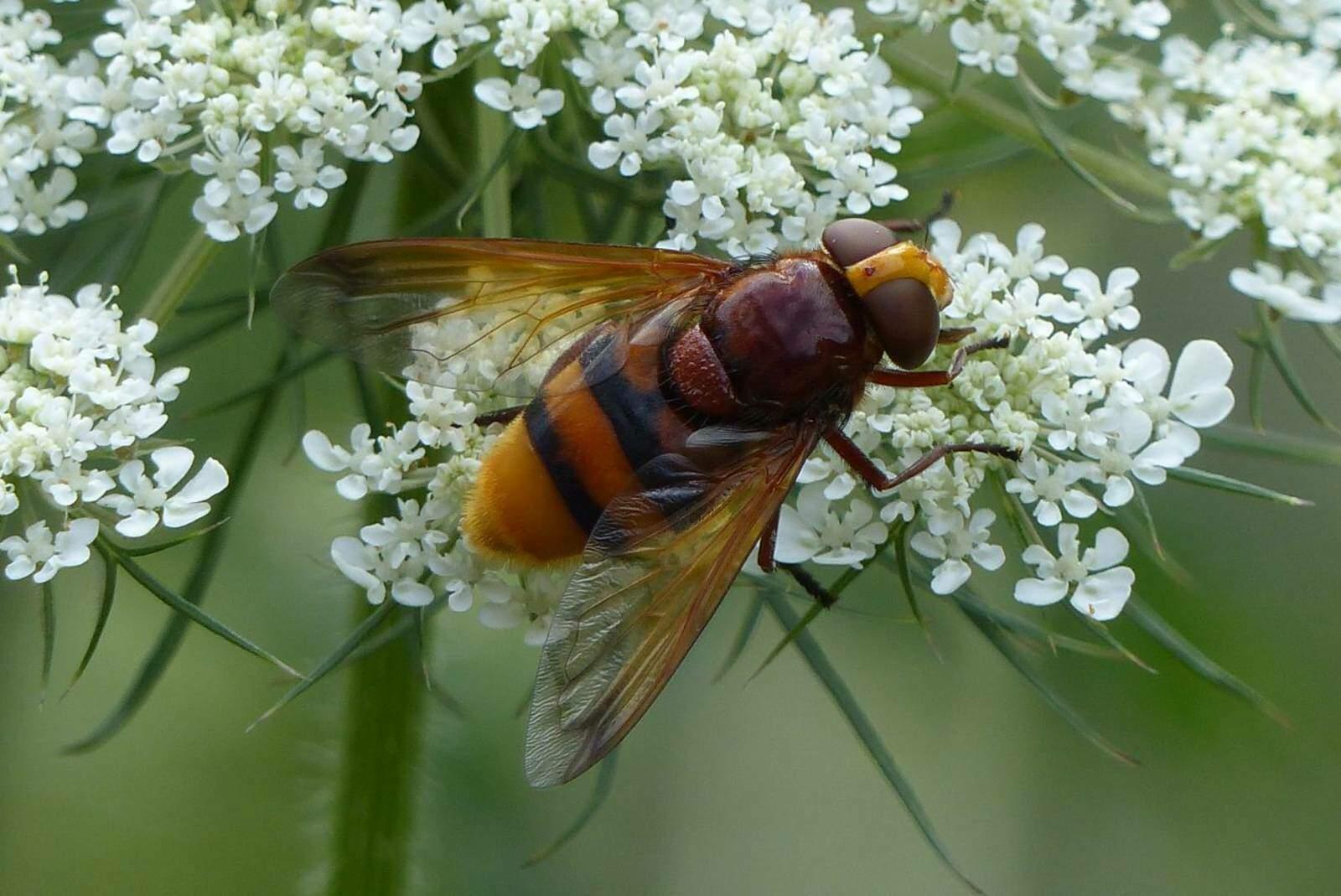 P1110052Hornissenschwebfliege-Volucella-zonaria-K.jpg
