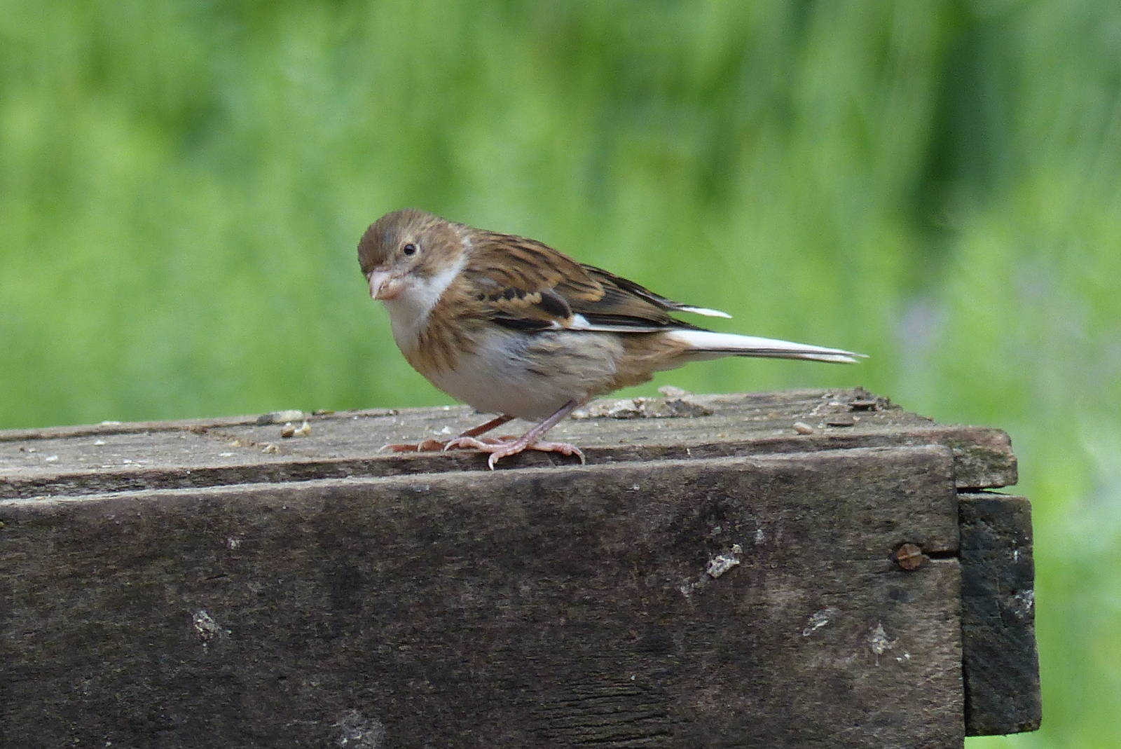 P1100596-Mischlingskanarienvogel.JPG