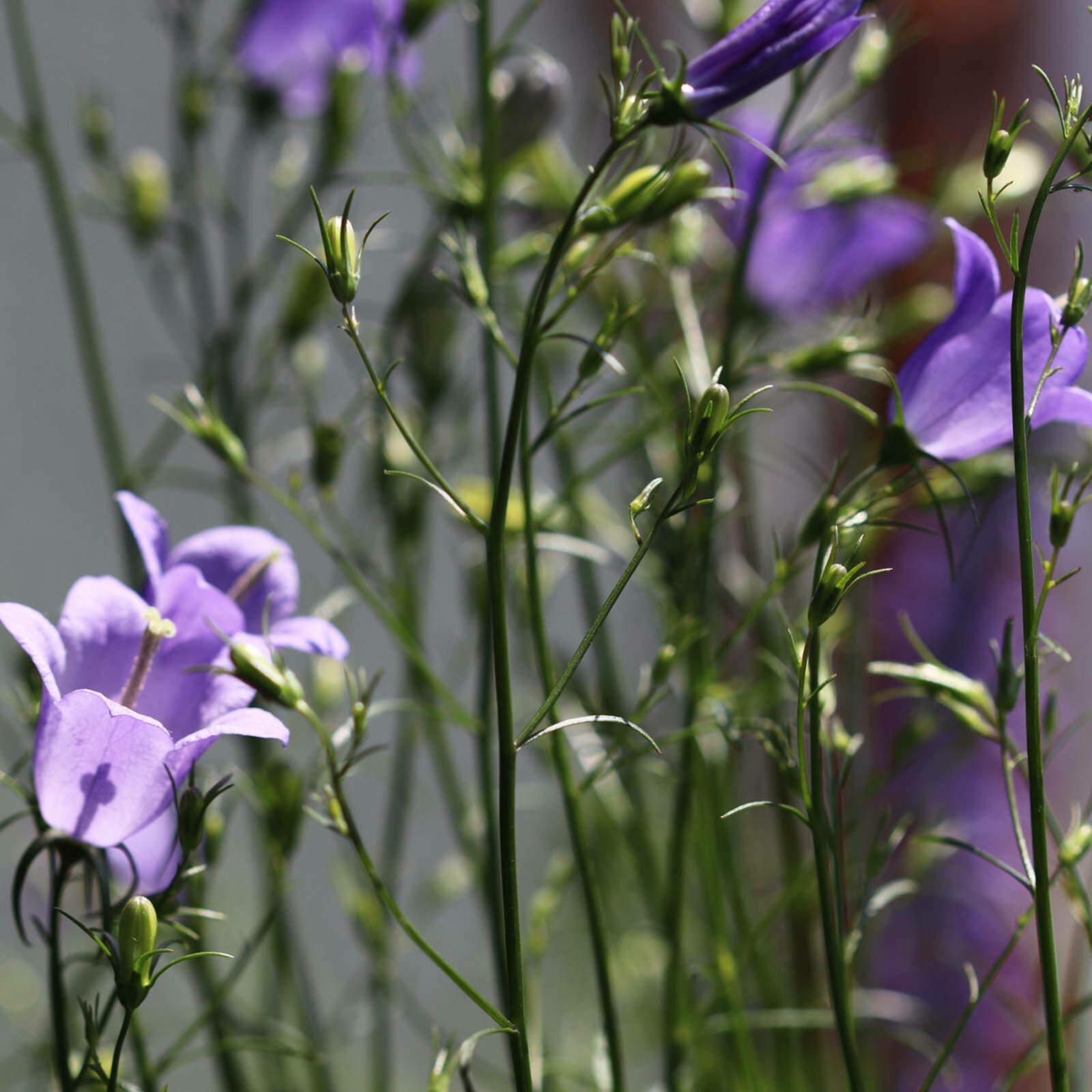 campanula-rotundifolia-1-insta.jpg