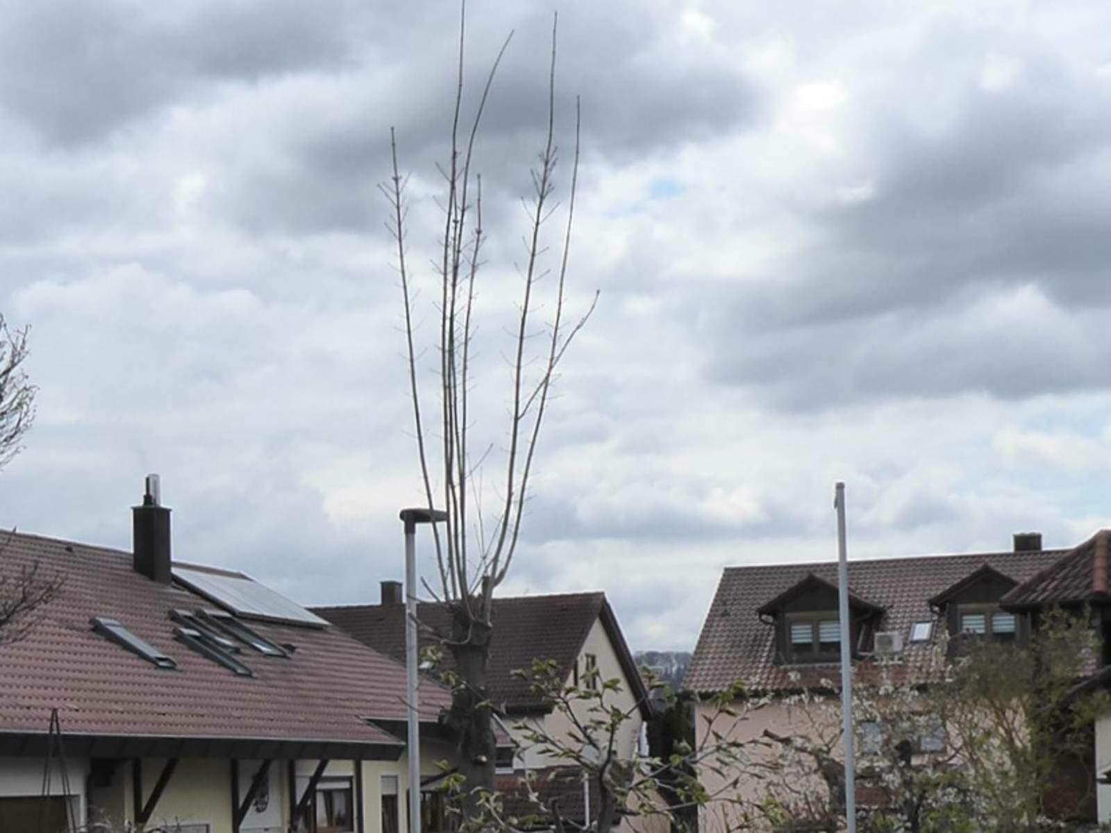 Gemeindebaum.jpg