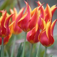 Tulpe Fly away