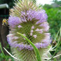 2 Bienen auf Karde
