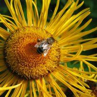 Biene auf Ochsenauge-super