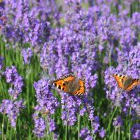 § Schmetterlinge und Lavendel