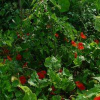 Tomatenchaos